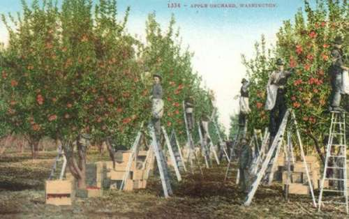 1884 Apple Orchard, Washington