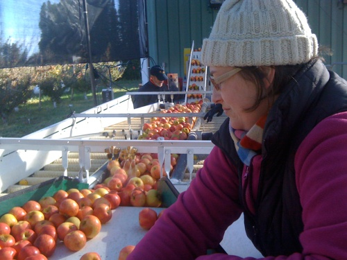 Heather sorting apples at Tieton Cider Works.